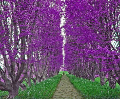 jacaranda trees lavender pinterest