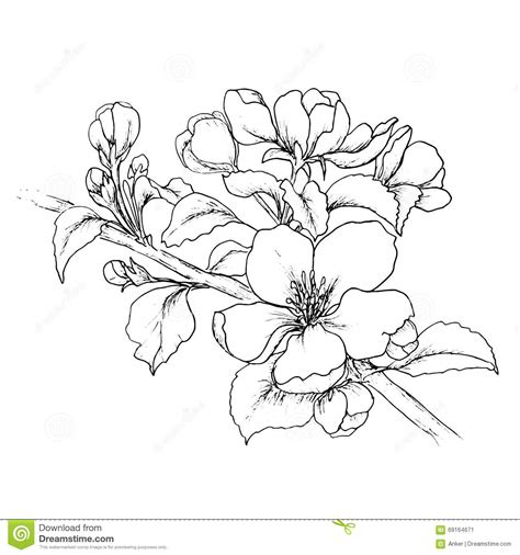 Cherry Blossom Branch Drawing Outline by Cherry Blossom Clipart Line Drawing Pencil And In Color Cherry Blossom Clipart Line Drawing