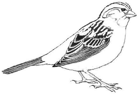 sparrow coloring pages 10 coloringpagehub