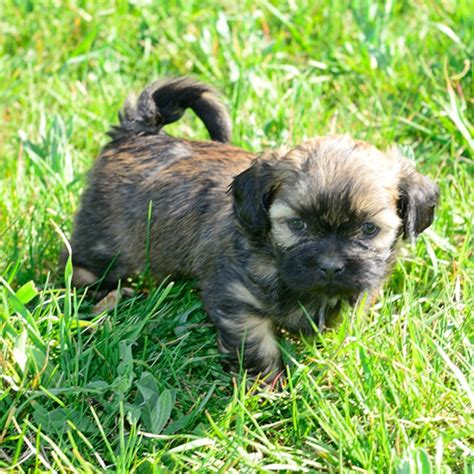 shih tzu puppies idaho puppies idaho falls and eastern idaho shih tzu puppies