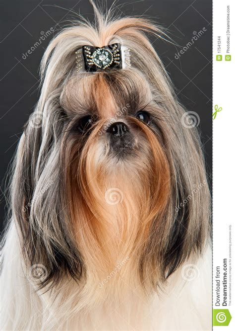 shih tzu ponytail shih tzu with ponytails mermaid ponytail hairstyles