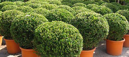 piante mediterranee da vaso vivaio vivai michelinivivai michelini