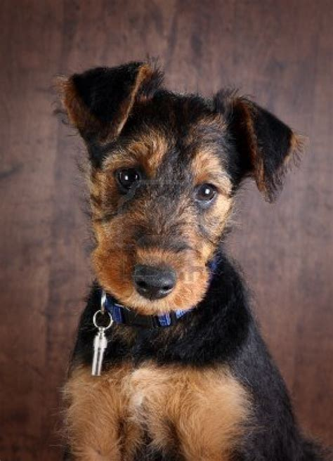 airedale puppies puppy pets pictures