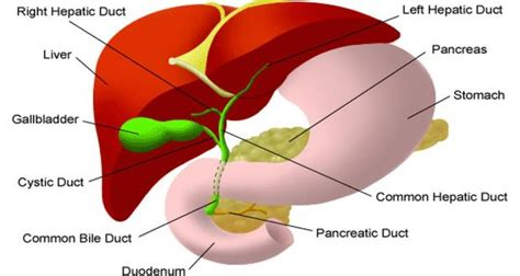 gallbladder location diagram diagram of gallbladder 28 images anatomy of