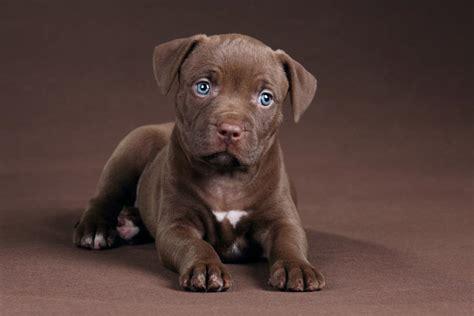 wallpaper dog bdfjade pitbull wallpaper bdfjade