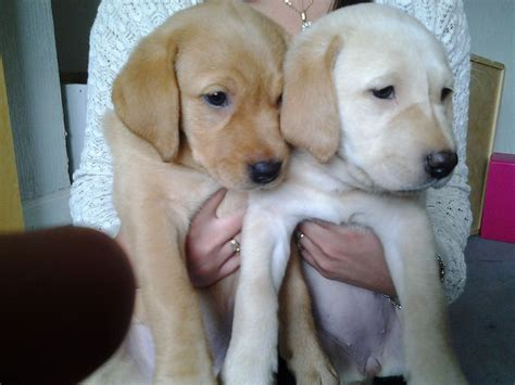 puppy labs for sale labrador retriever puppies for sale chester le county durham pets4homes