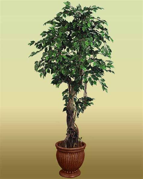 alberi da interno le 15 piante da interno resistenti seconda parte fito