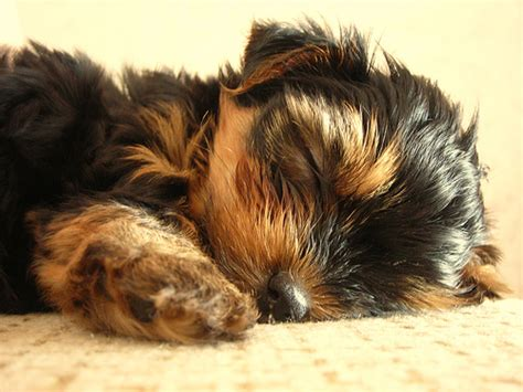 what were yorkies bred to do terrier photo gallery pictures of terriers picture gallery