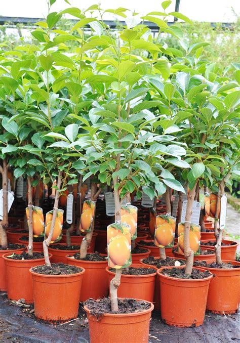 bartnelken pflanzen kaufen 1258 bartnelken pflanzen kaufen bartnelken kaufen bartnelken