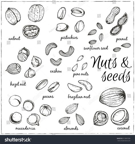 how to make doodle nuts set nuts seeds drawings sketches handdrawing stock vektor