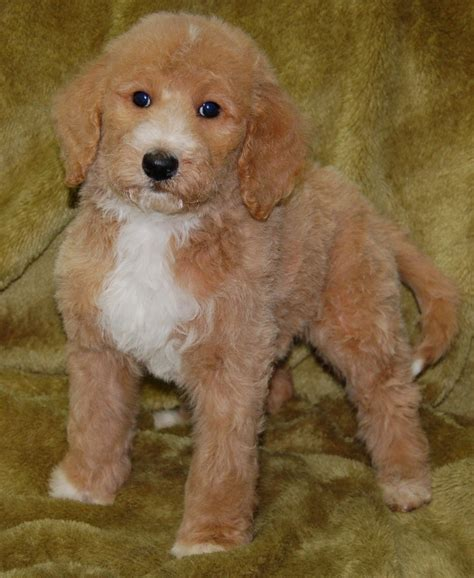 goldendoodle puppy weight gain standard goldendoodles