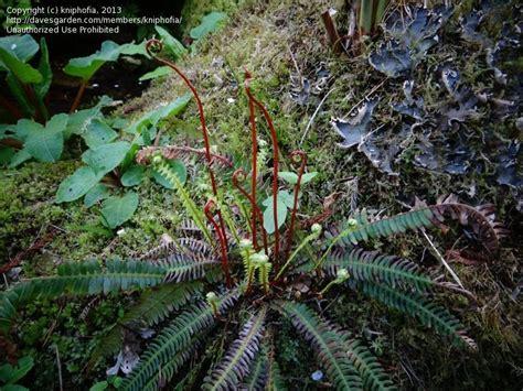 bide a wee cottage gardens plantfiles pictures fern deer fern ladder fern