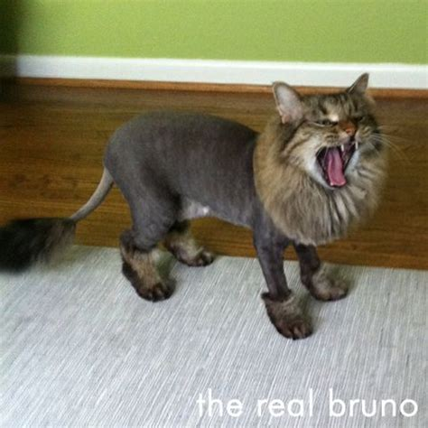 cat with a lion cut.. omg too cute | sphynx cats