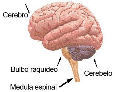 partes del bulbo raquideo tarepaso sistema nervioso