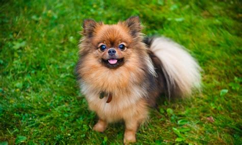 small dogs for free the benefits of owning a small nuvet labs