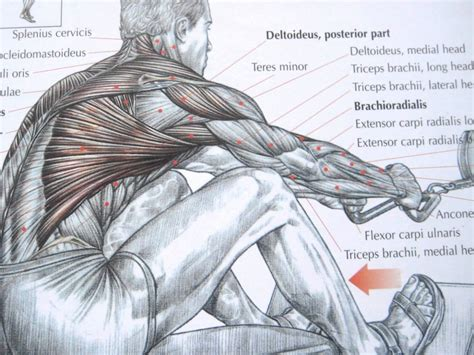 diagram of back printable back muscles diagrams diagram site