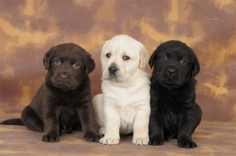 golden lab puppies for sale golden lab puppies the of the labrador family lovable labradors