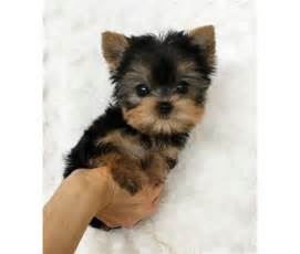 yorkies for sale in laredo tx yorkie in laredo tx for sale classifieds