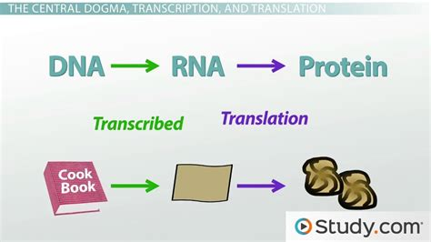 protein synthesis definition protein synthesis in the cell and the central dogma