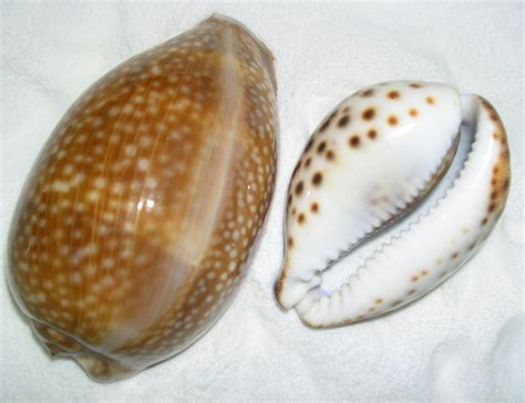cowrie shell the cowry seashell seashells by millhill