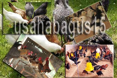 As Tahu Sebagai Pakan Ternak Ayam peluang usaha ternak ayam kung paling untung contoh