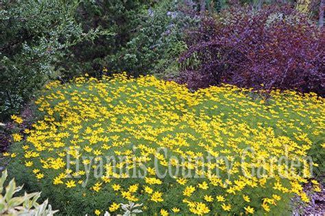 full sun ground cover coreopsis verticillata zagreb the garden path newsletter pinterest