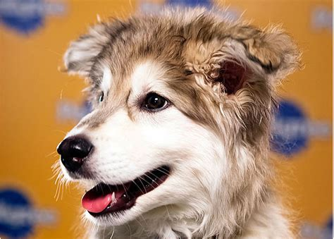 siberian retriever puppies golden retriever husky mix information images and