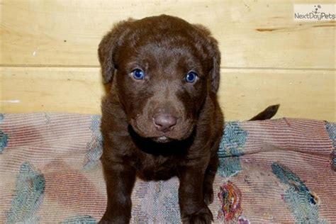 chesapeake bay retriever puppies for sale chesapeake bay retriever puppy for sale near billings montana f2788a80 d301