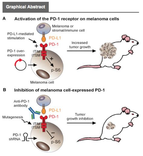 targeting pattern recognition receptors in cancer immunotherapy immunotherapy drugs may may also target melanoma itself