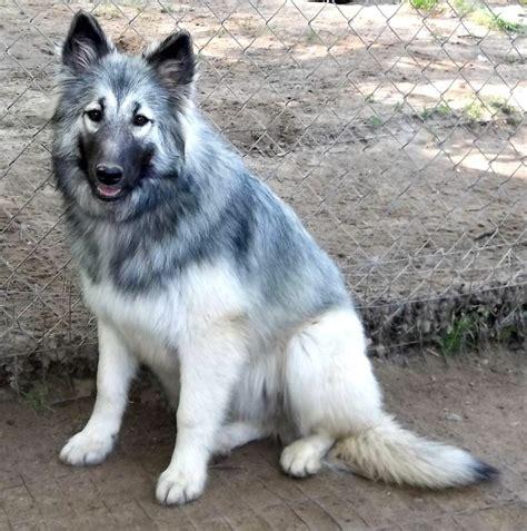 american shepherd puppies american shepherd sires dams majestic view kennels hypoallergenic dogs