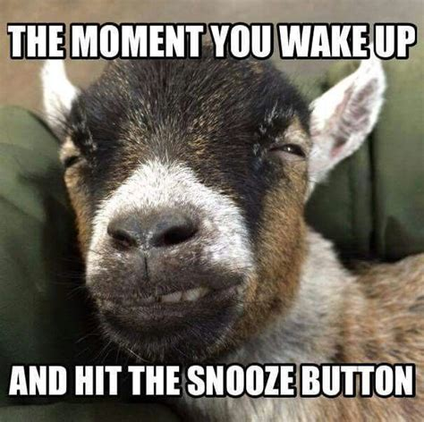 Goat Memes - 143 best images about goats on pinterest baby goats