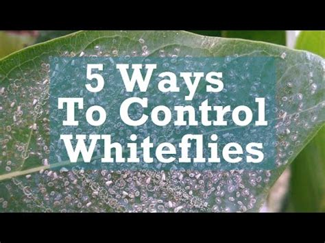 5 ways to whiteflies
