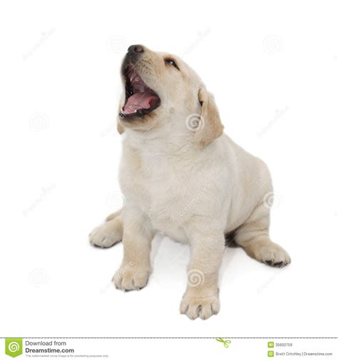 puppy pet barking puppy royalty free stock images image 35650759