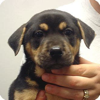 rottweiler boxer mix quinn adopted puppy hagerstown md rottweiler boxer mix