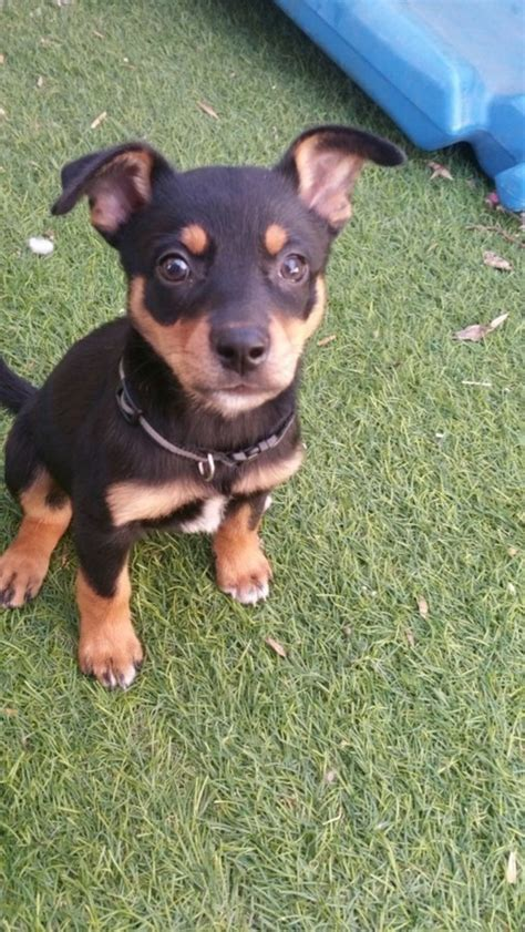 doberman x rottweiler rottweiler puppies for adoption breeds picture