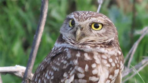 burrowing owl is top bird in california mercury news