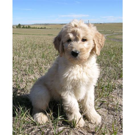 goldendoodle puppy ranch puppies for sale goldendoodle goldendoodles f