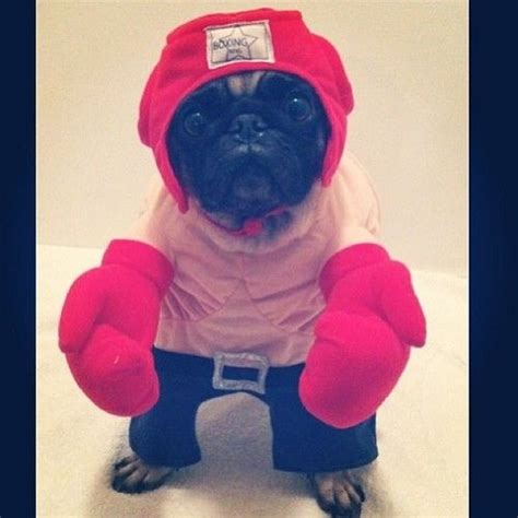 pugs boxing 17 best images about pug costumes hahaha on animals cutest
