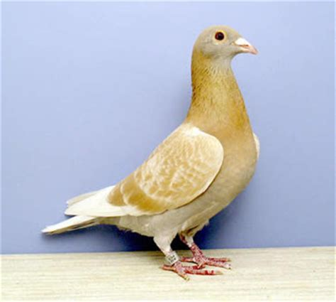 usa & uk homer (racing) pigeons | racer pigeons ~ kabootar