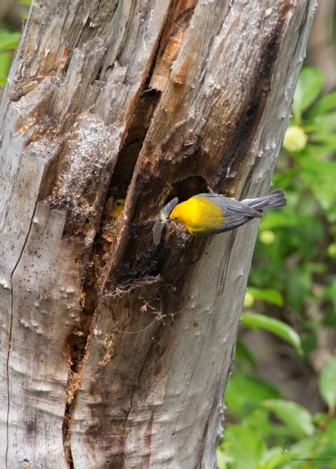 Prothonotary Search Prothonotary Warbler Birdwatching