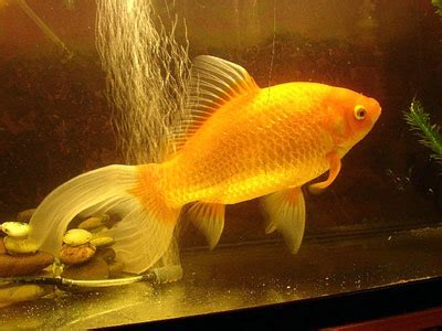 can i add minnows with goldfish in my 42l tank? | yahoo