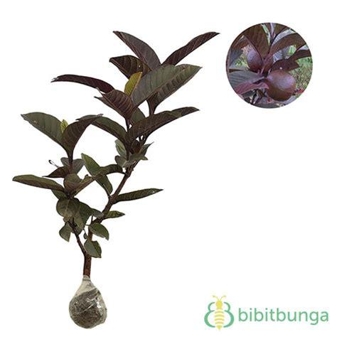 Tanaman Jambu Varigata Australia Berkualitas 1 tanaman jambu biji merah australia bibitbunga