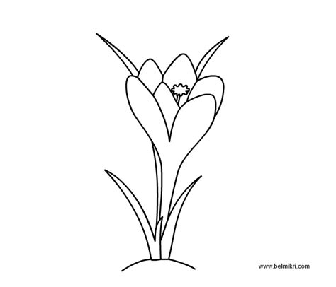 crocus flower coloring page printable coloring pages dot the dot