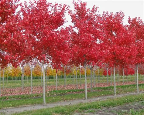 sun valley maple tree for sale beatiful tree