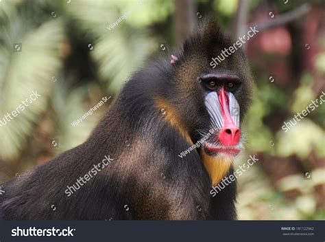 mandrill baboon stock photo  shutterstock