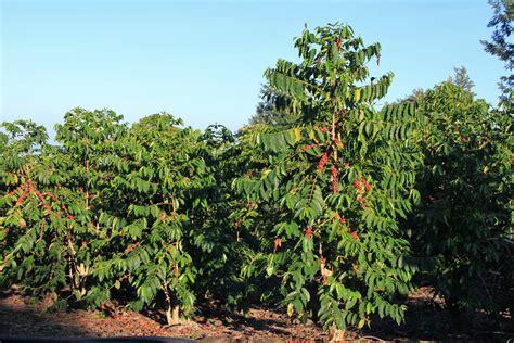 Holualoa  Coffee Country   earthstonestation