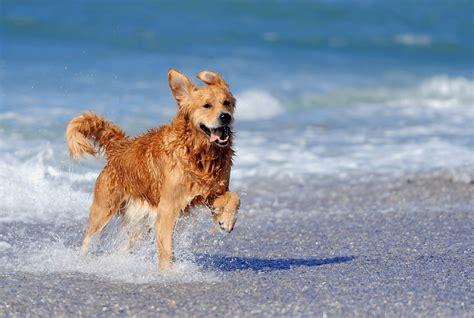 golden retriever running partner best breeds to match your active lifestyle