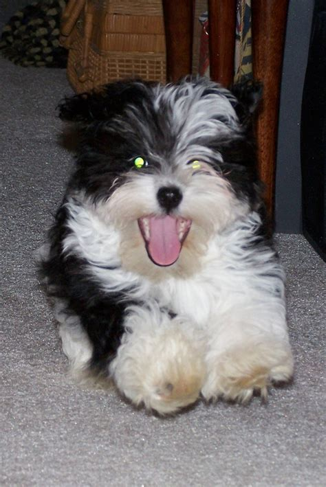 lifespan of a havanese 36 best images about dogs i like on best dogs and abyssinian cat