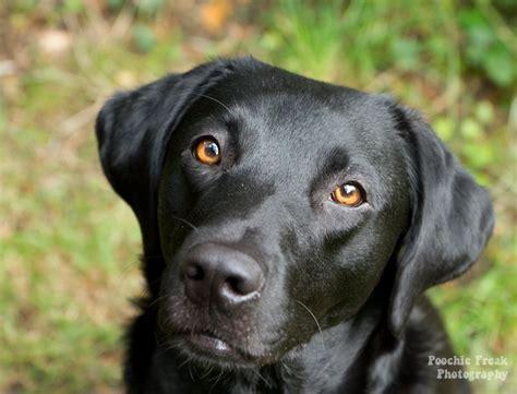 black dog black dogs google search sina