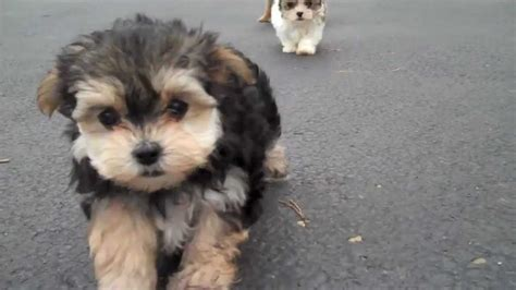 cutest puppies for sale martin beyonce jojo cutest puppies for sale